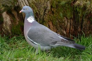 golub_vjahir
